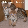 4 Beautiful F1 Savannah kittens availabl