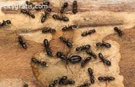 Ant Control Dickson