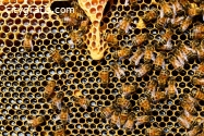 Bees Control Canberra