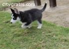 Blue Eyes Siberian Husky pups $500
