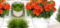 Buy Alstroemeria Plant & flower | Garden