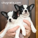 Chihuahua puppies for sale