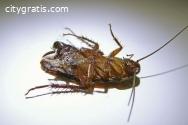Cockroach Control Dickson