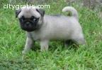 Cute Fawn Pug Pups Ready
