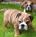 English Bulldog Puppies for Adoption
