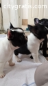 Gift Economical French Bulldog Puppies