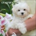 Gorgeous White Teacup Maltese Puppies