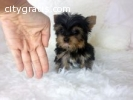 Micro, Teacup, & Toy Purebred yorkie Pup