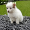 pomsky puppies ale and female for sale