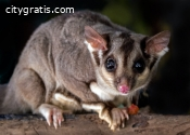 Possum Pest Control Adelaide