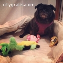 Pug Dogs for Sale