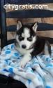 Pure Breed Siberian Husky Puppies.
