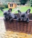 Purebred French Bulldog Puppies Availabl