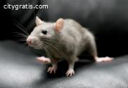 Rodent Control Brisbane