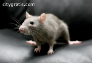 Rodent Control Hilton