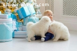 samoyed puppies now ready for sale