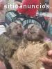 Sensitive and Playfully marmoset Monkeys