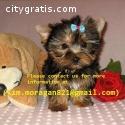XMAS AKC Teacup Yorkie Puppies