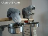 10 Talking Congo African Grey Parrots