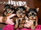 Gorgeous tiny teacup yorkie puppies for free adoption