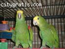 Double Yellow Headed Amazon Pair fo
