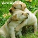 2 Cute Golden retriever pups for adoptio