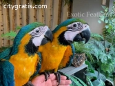4 Hand Reared Blue & Gold Macaws Parrots