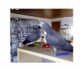 African grey Parrots for sa