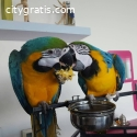 Hand Tamed Blue And Gold Macaw Parrots
