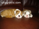 loving male and female bulldog