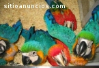 macaws, cockatoos, African greys and fer