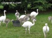 Ostrich/ Emu/rhea & eggs