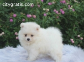 Pure White Pomeranian Pups Now Availabl