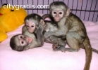 tamed Monkeys and Chimps for sale