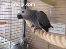 Top Quality Pet Parrot Birds