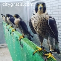 Trained Hunting Falcon Birds For Sale