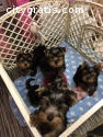 10 weeks Male /Female Teacup Yorkie Terr