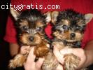 Our male and female Yorkie Puppies