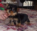3 Yorkie Terrier  puppies for adoption