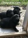 Active Shepherd Puppies