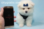 Adorable Pomeranian   Puppies For Adopt