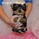 Adorable Teacup Yorkie Pups