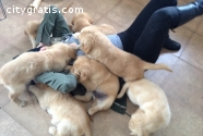 Awesome Golden Retriever Puppies Availab