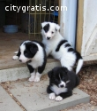 Beautiful Border Collie puppies ready.