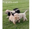 Beautiful Labrador Retrievers Puppies Av