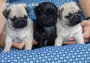 Beautiful male and female Pug puppies.