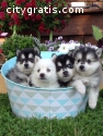 Beautiful Pomsky Puppies Available  gtgt