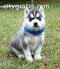 Blue Eyes Siberian Husky Puppies Now
