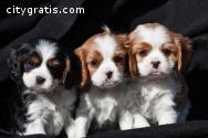 Cute Cavalier king charles spaniel Puppi