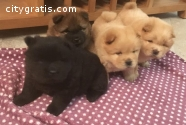 Cute Chow chow puppies Available  now